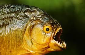 05_08_13_destaque04_pb_secretaria_pesca_apresenta_solucoes_para_piranhas002