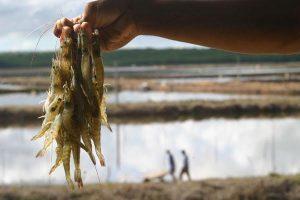 Júnior Verde defende regulamentação da Carcinicultura