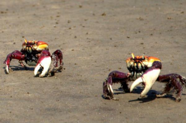 Proibido capturar caranguejo-uçá durante a andada